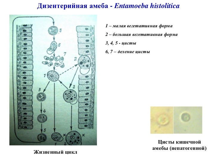 Инфузории рисунки