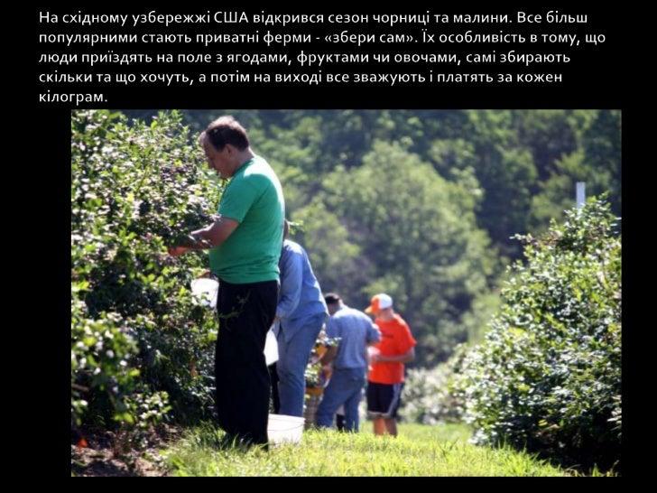 На східному узбережжі США відкрився сезон чорниці та малини. Все більш популярними стають приватні ферми - «збери сам». Їх...