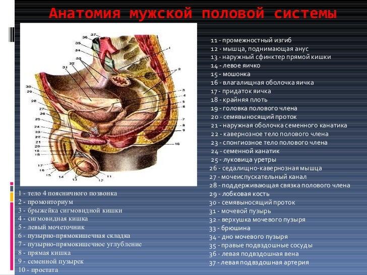 Анатомия мужской половой