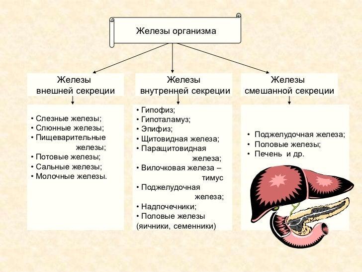 Железы организма Железы Железы