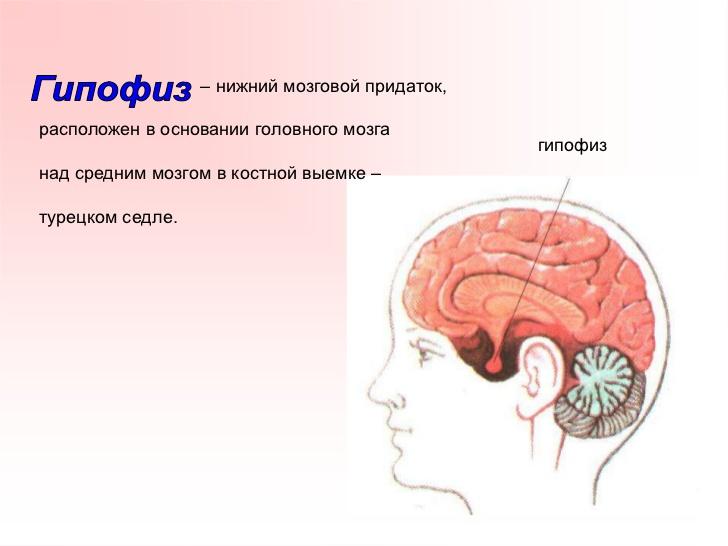 Нейрогипофиз фото