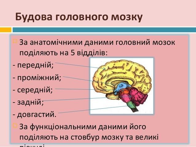 Будова головного мозку За