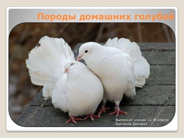 Породы домашних голубей             Выполнил ученик 11-Ф класса             Булгаков Дмитрий