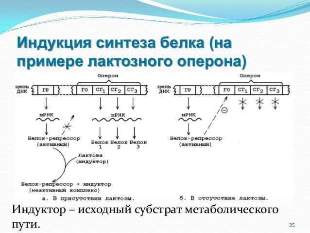 лактозного оперона) 35