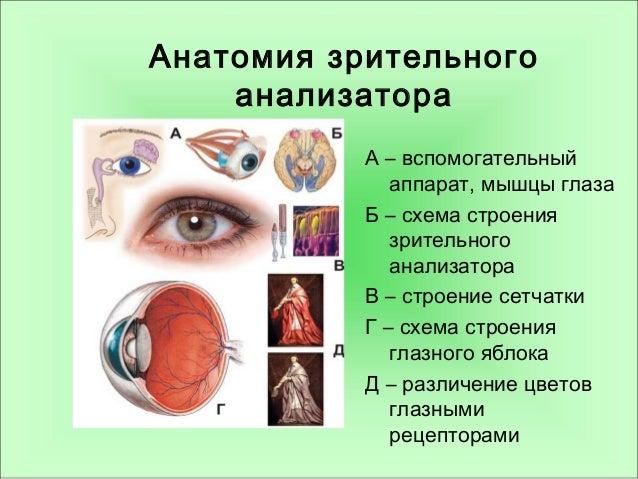 глаза Б – схема строения