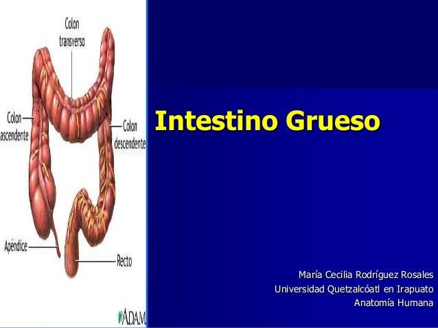 Intestino Grueso  María Cecilia Rodríguez Rosales Universidad Quetzalcóatl en Irapuato Anatomía Humana