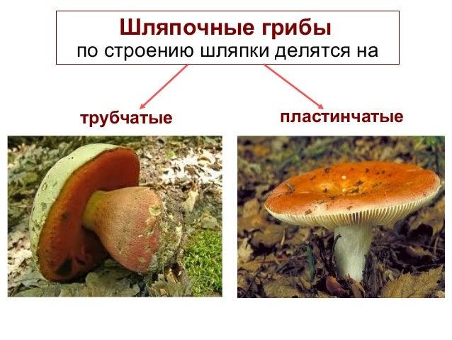 Шляпочные грибы по строению