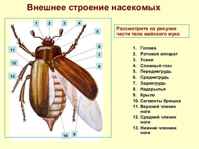 Внешнее строение насекомых 1 2