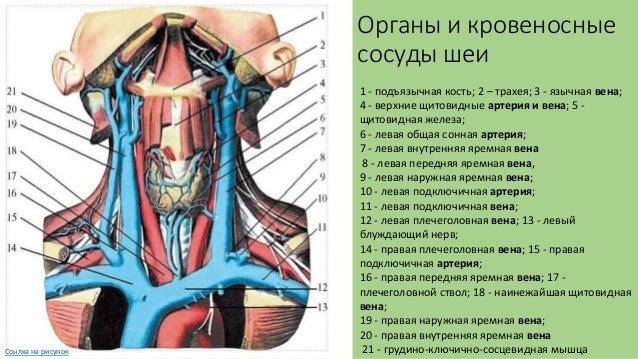 Вены шеи и головы схема