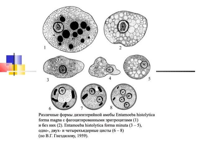 гистолитической амебы
