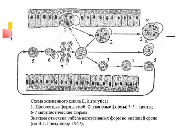 дизентерия (дизентерийный