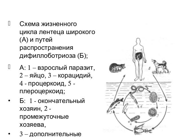 Схема жизненного цикла лентеца