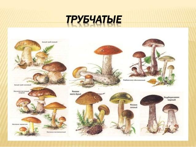 несъедобные грибы трубчатые фото