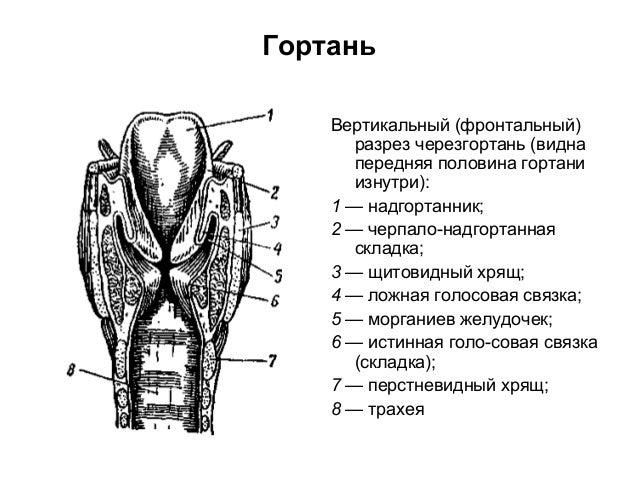половина гортани изнутри):