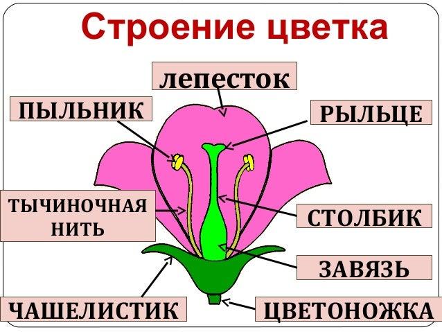 Схема строение цветка мужского