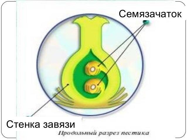 (n) Пыльник Генеративная