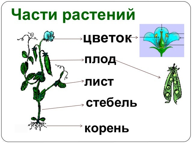 Картинки по запросу части растений