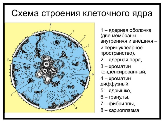 схема ядра интерфазной клетки