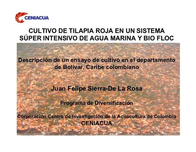 CULTIVO DE TILAPIA ROJA EN UN SISTEMASÚPER INTENSIVO DE AGUA MARINA Y BIO FLOCDescripción de un ensayo de cultivo en el de...