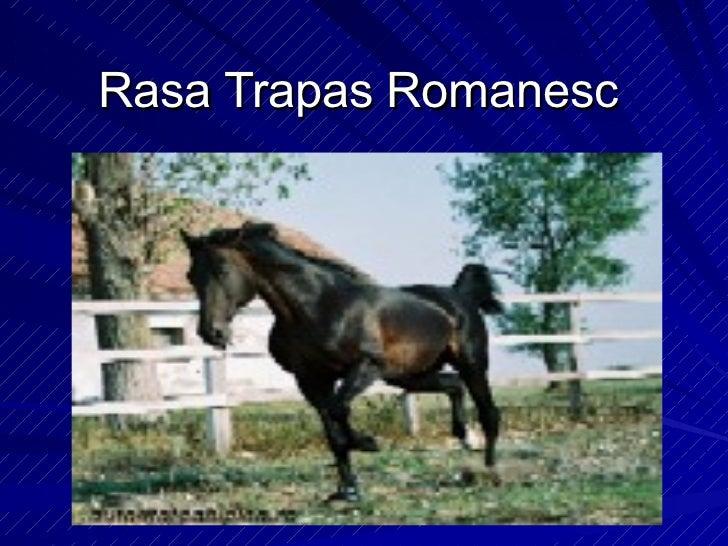 Rase de cai: Rasa trapas romanesc