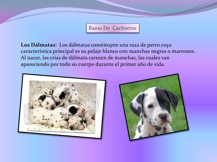 Razas De  Cachorros<br />Los Dálmatas:  Losdálmatasconstituyen unaraza de perro cuya característica principal es su pel...