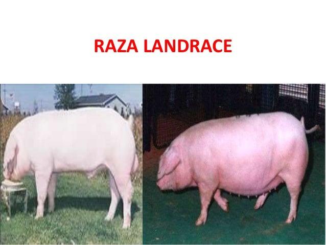 RAZA LANDRACE