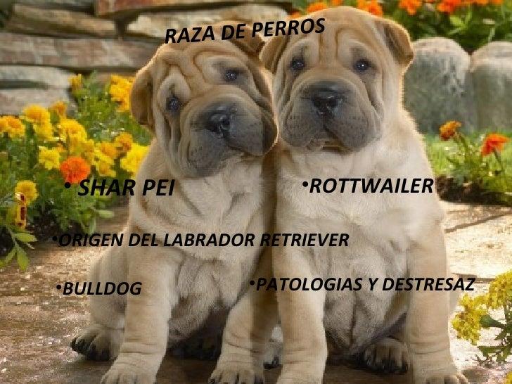 RAZA DE PERROS <ul><li>SHAR PEI </li></ul><ul><li>ROTTWAILER </li></ul><ul><li>ORIGEN DEL LABRADOR RETRIEVER </li></ul><ul...