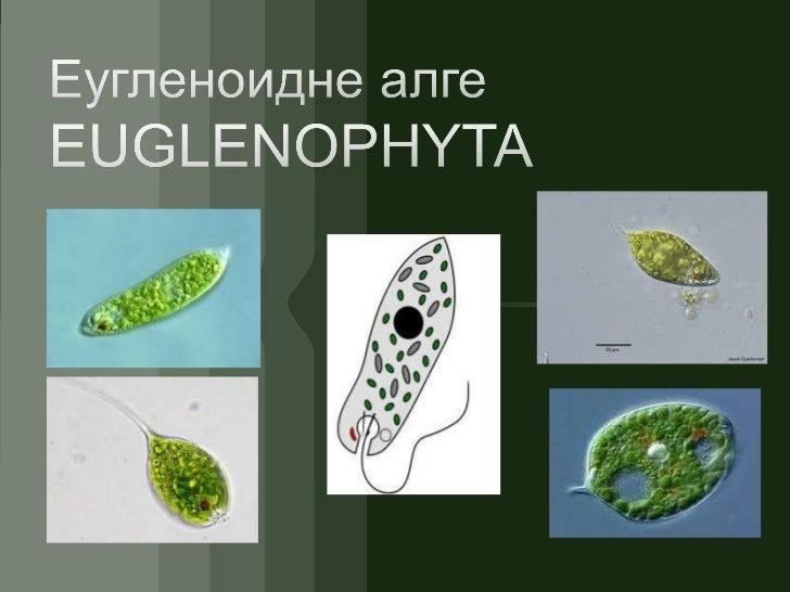 Razdeo+euglenoidne+alge (1)