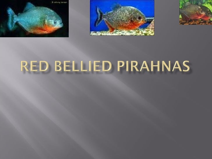 Red Bellied Piranhas