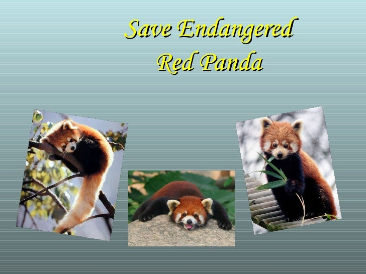 Save Endangered Red Panda
