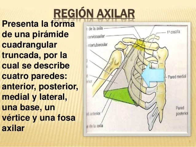 REGIÓN AXILAR  Presenta la forma  de una pirámide  cuadrangular  truncada, por la  cual se describe  cuatro paredes:  ante...
