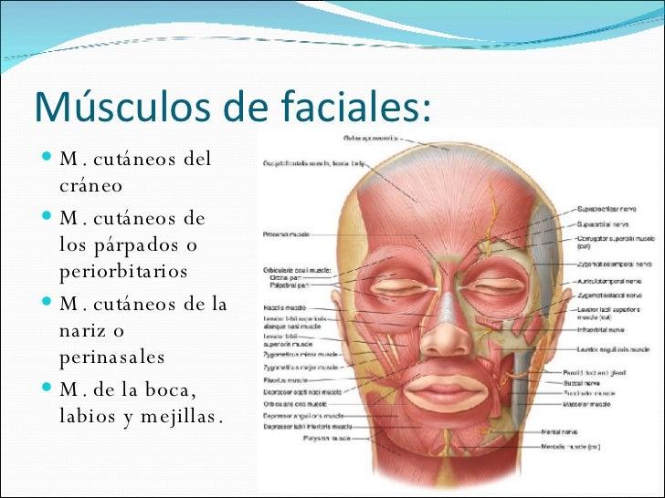 Asombroso Anatomía De Los Músculos Faciales De Botox Galería ...