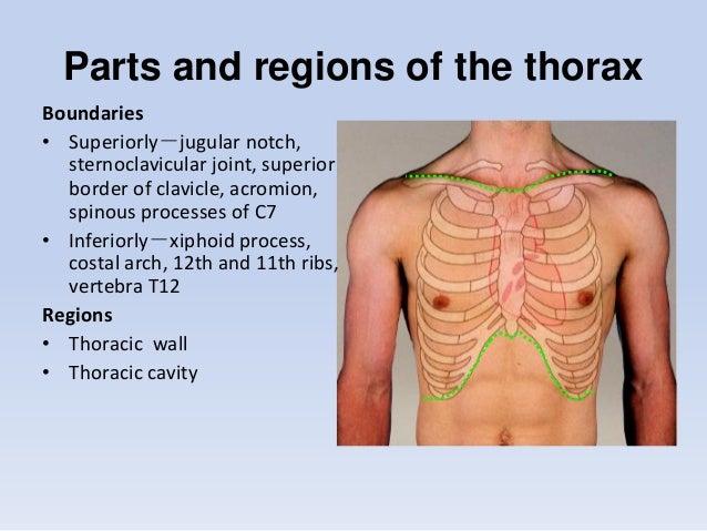 Thorax Anatomy Anterior
