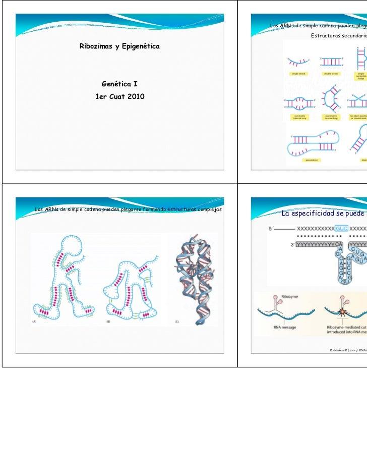 Los ARNs de simple cadena pueden plegarse formando estructuras complejas                                                  ...