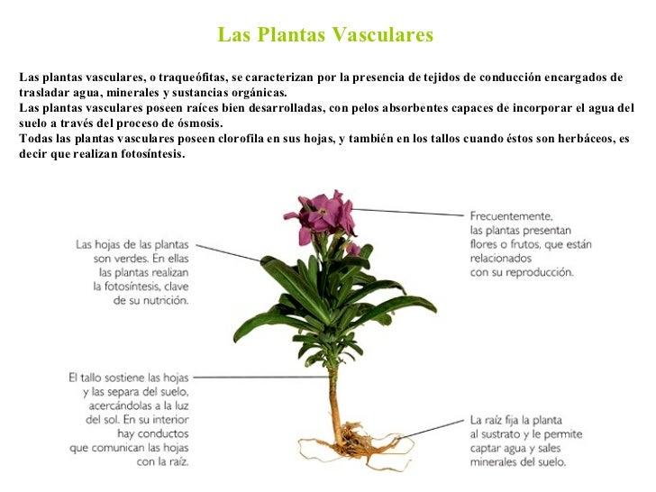 las plantas vasculares las plantas vasculares o traqueófitas se