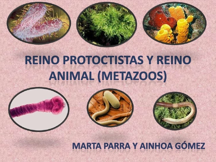 Reino protoctistas y reino animal (metazoos) (1)