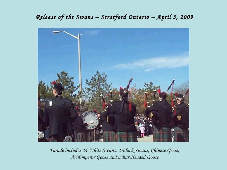 Release of the Swans – Stratford Ontario – April 5, 2009 Parade includes 24 White Swans, 2 Black Swans, Chinese Geese, An ...