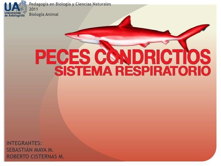 Sistema Respiratorio de los Peces Condrictios