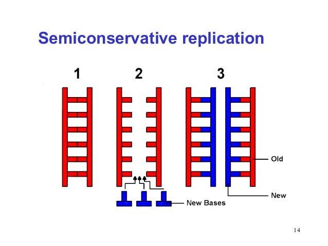 Semiconservative replication involves a template what is the semiconservative replication involves a template what is the semiconservative replication involves a template what is the pronofoot35fo Choice Image