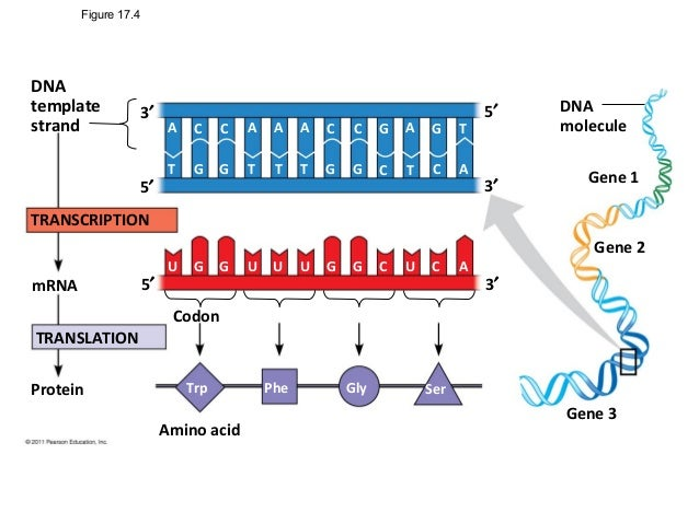 Replication transcription translation2012 for What is the template strand