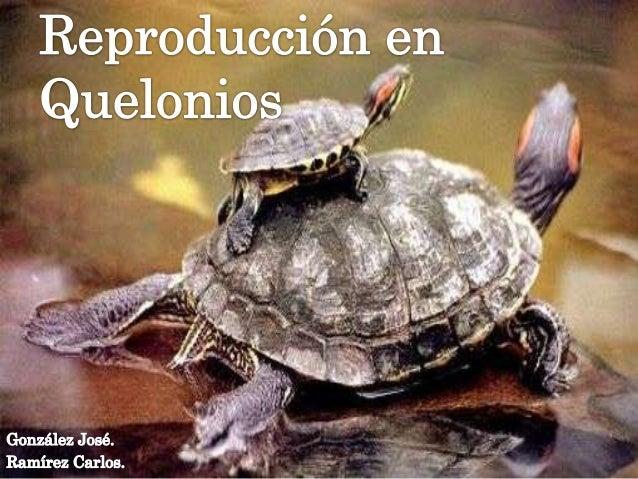 INTRODUCCIÓN   Las tortugas son animales    ectotérmicos. Por esta razón durante    las horas mas calurosas esconden o se...