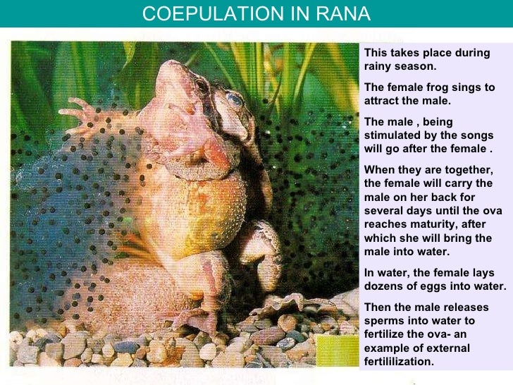 COEPULATION IN RANA This takes place during rainy season. The female frog sings to attract the male. The male , being stim...
