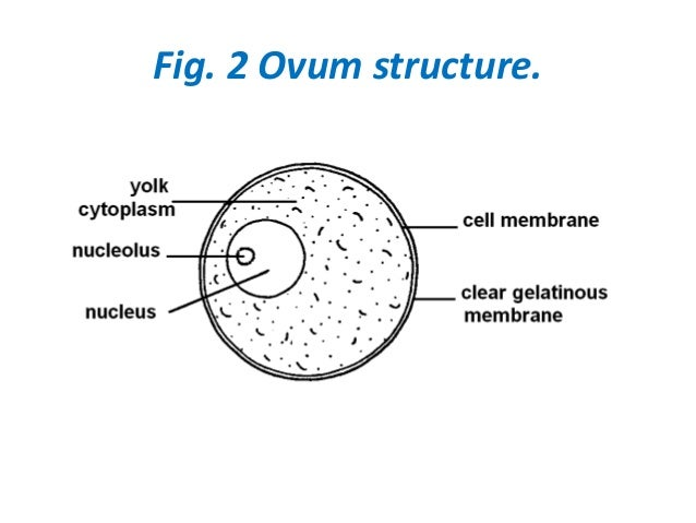 Image Result For Prostate Orgams