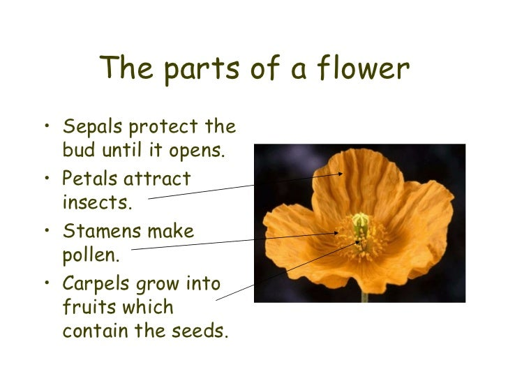 The parts of a flower <ul><li>Sepals protect the bud until it opens. </li></ul><ul><li>Petals attract insects. </li></ul><...