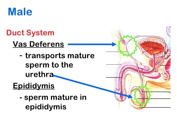 in urine Sugar and sperm