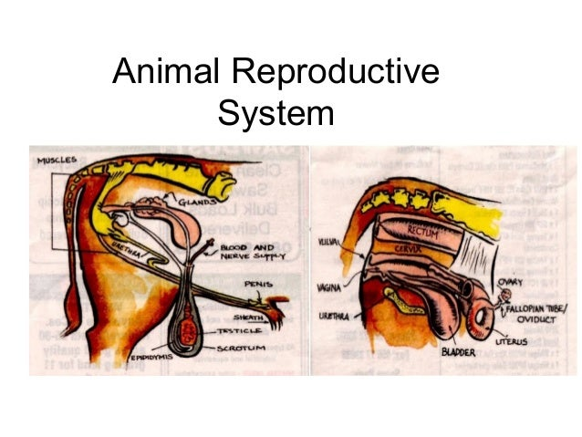 Goat reproductive anatomy