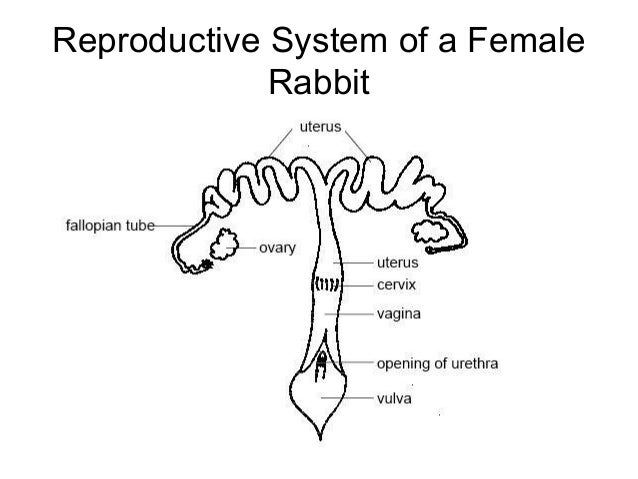 Female Dog Reproductive System