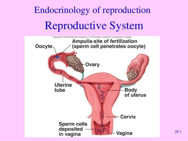 Endocrinology of reproduction  Reproductive System  28-1