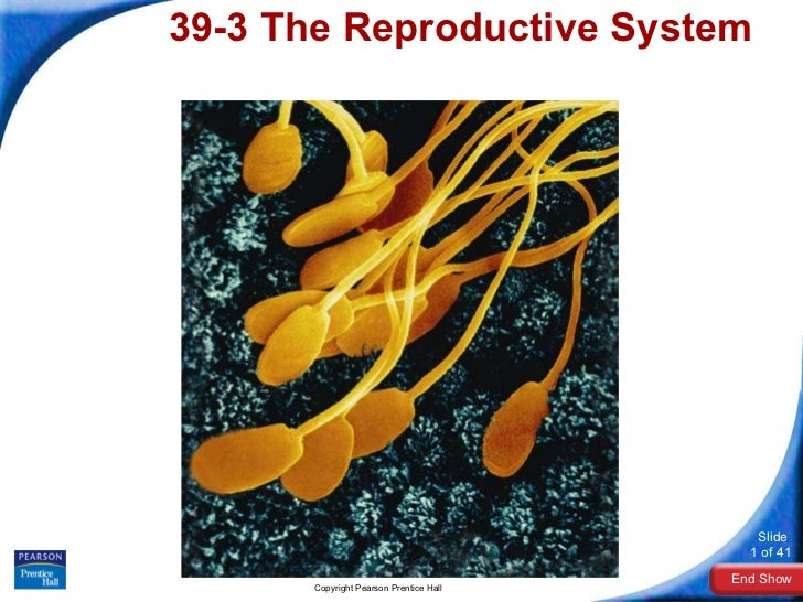 39-3The Reproductive System Copyright Pearson Prentice Hall