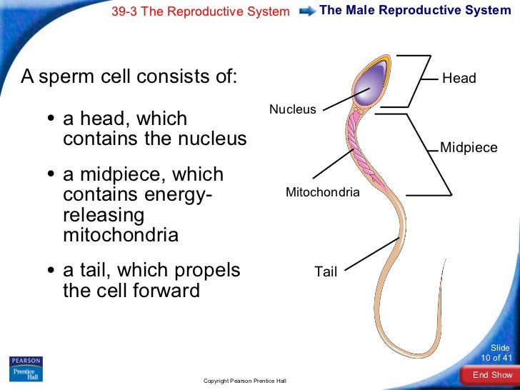 physiology reproductive system and hypospadias Human physiology/the female reproductive ← the male reproductive system — human physiology title=human_physiology/the_female_reproductive_system&oldid.